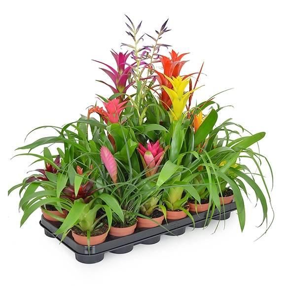 dekozentrale der onlineshop f r floristenbedarf dekobedarf zimmerpflanzen On zimmerpflanzen blühend