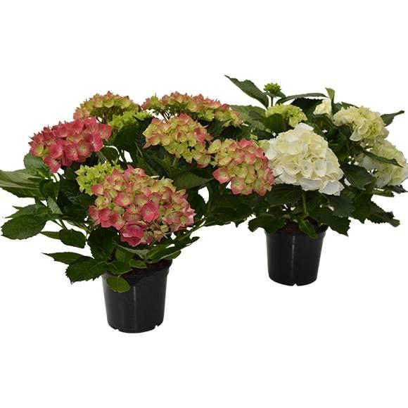 dekozentrale der onlineshop f r floristenbedarf dekobedarf zimmerpflanzen. Black Bedroom Furniture Sets. Home Design Ideas